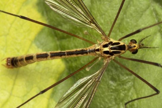 N.quadristriata