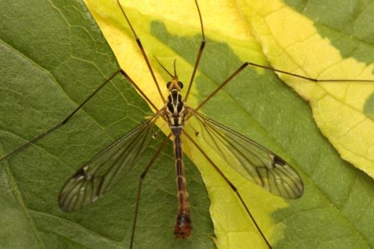 Nephr. quadrifaria
