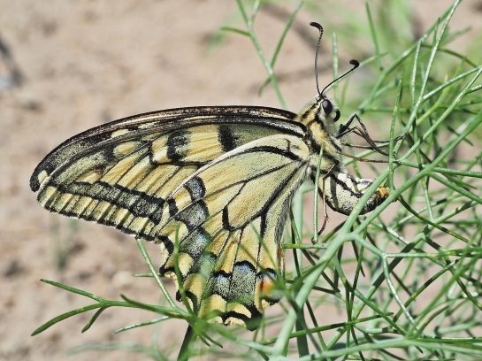 P machaon