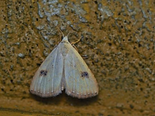R.sericealis