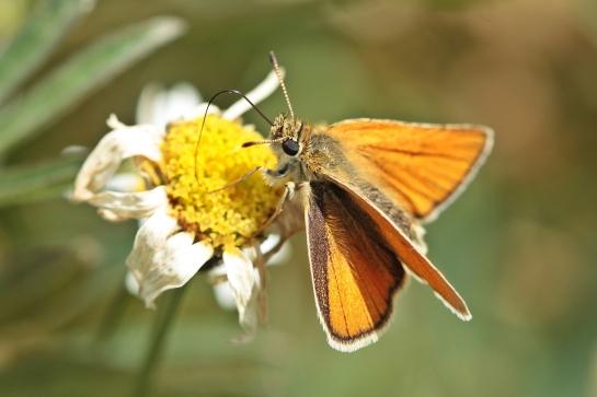 T.sylvestris