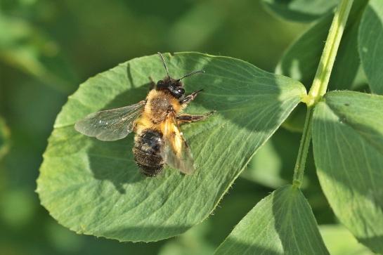A nigroaenea