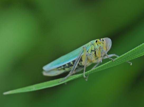 C viridis
