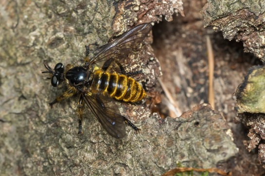 C.fimbriata