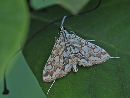 E.nymphaeata