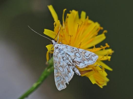 Elophila