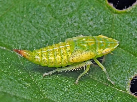 Fieberiella nymph