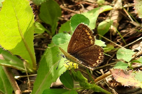 L.bellargus