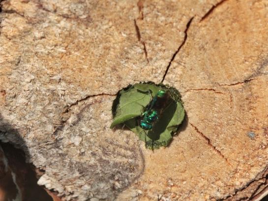 Megachile nest.