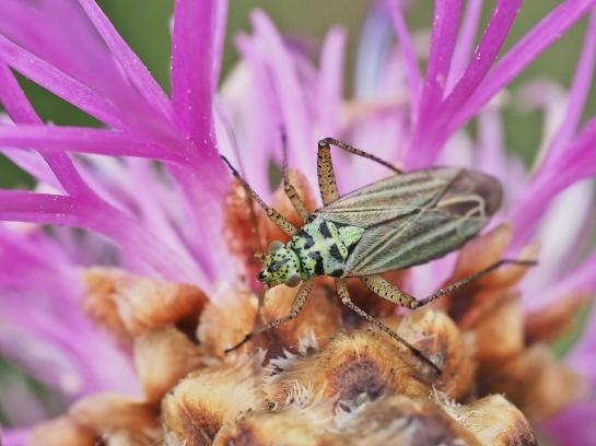 Onc.viridiflavus