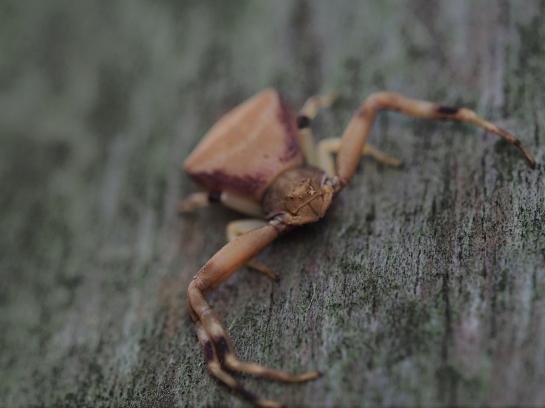 P truncatus