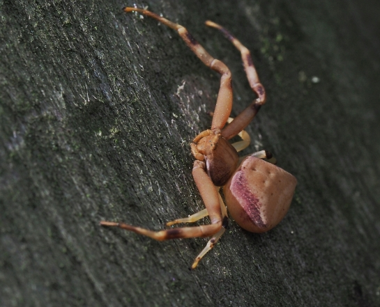 P.truncatus