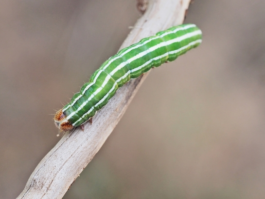 P.flammea caterpillar