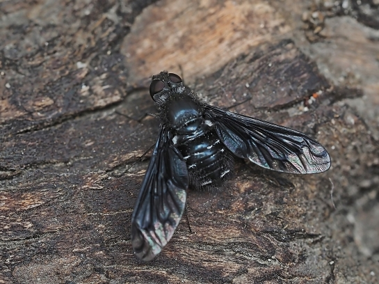 A.anthrax
