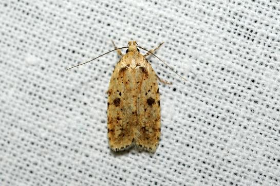 A.arenella