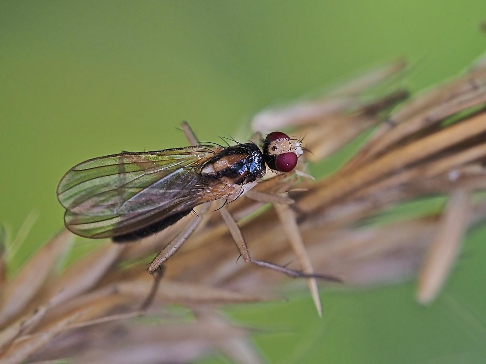 Cordilura albipes