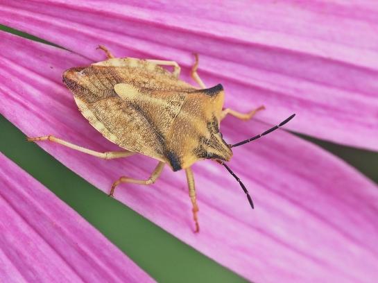 C fuscispinus
