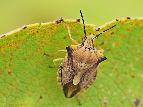 C.fuscispinus