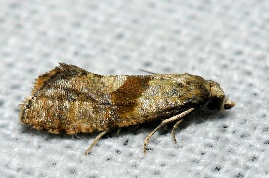C.implictana