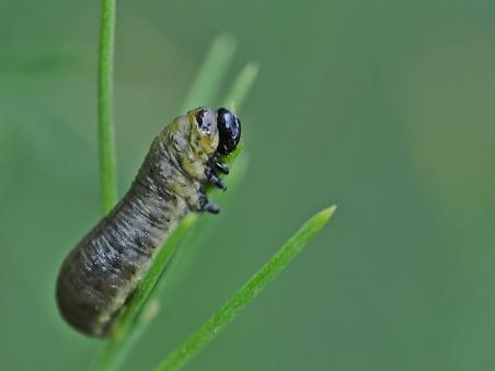 Crioceris larva