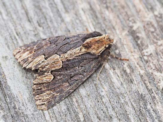 Dypterygidia