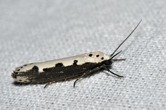 E.bipunctella