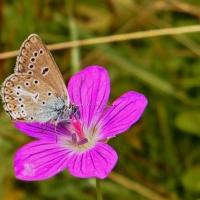 Lycaenidae - Modraszkowate