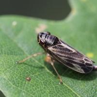Cicadellidae - Skoczkowate