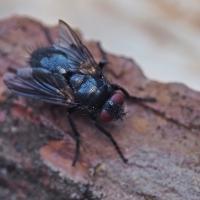 Tachinidae - Rączycowate