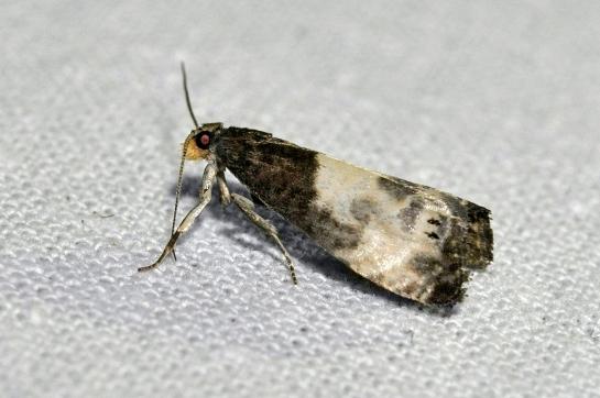 N. cynosbatella