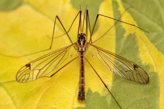 N.lunulicornis