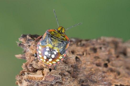 N.viridula nymph