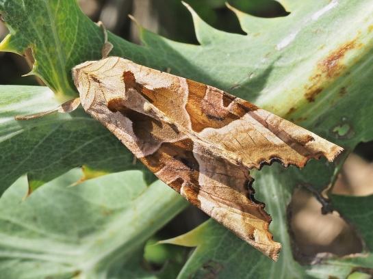 Phlogophora