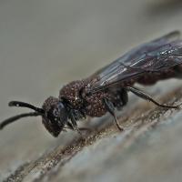Crabronidae - Grzebaczowate