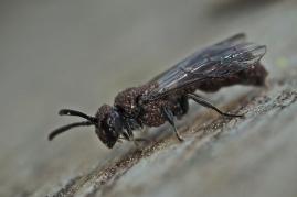 Trętwisz z rodzaju psenulus pokryty roztoczami