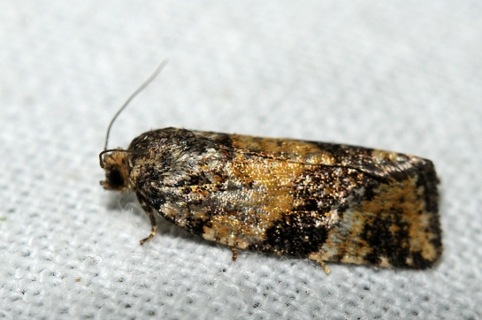 Pt.aeriferana