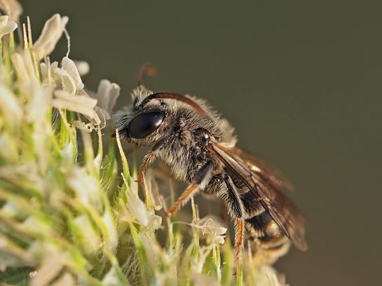 R.canus male