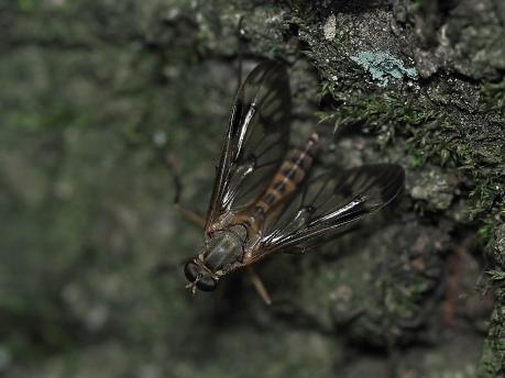 R scolopaceus