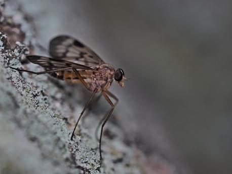 R.scolopaceus