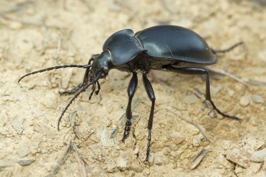 C.glabratus