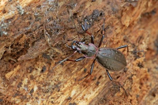C.irregularis