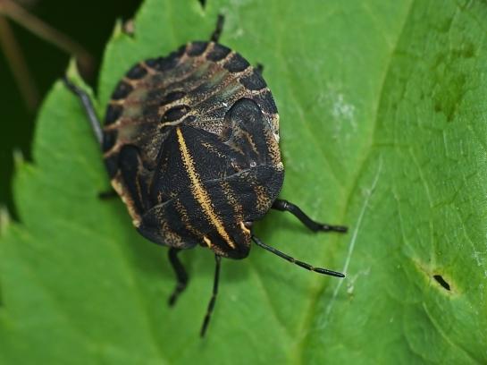 G.italicum