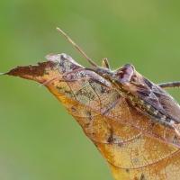 Leptoglossus occidentalis - Wtyk amerykański
