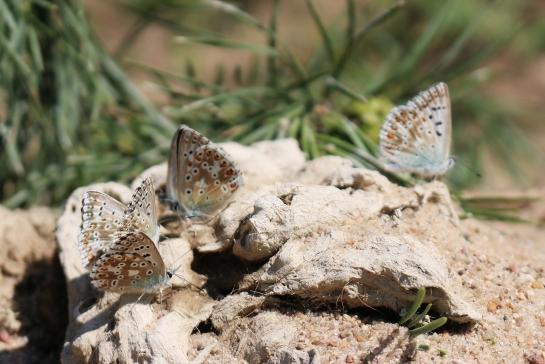 P. coridon on the dung