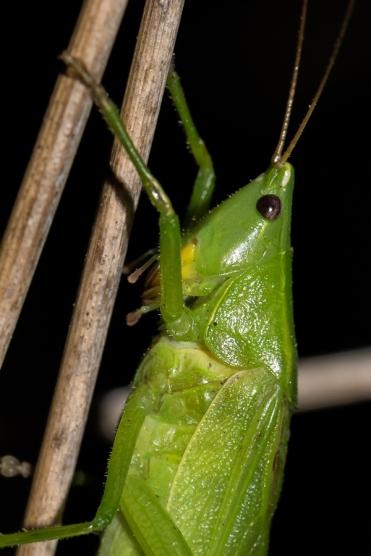 R.nitidula.