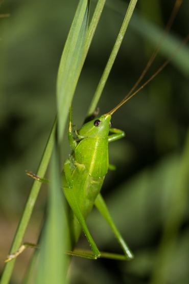 R.nitidula