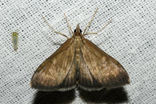 A.terrealis
