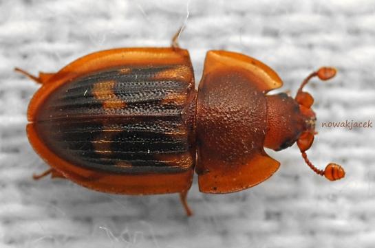 Amph. marginata