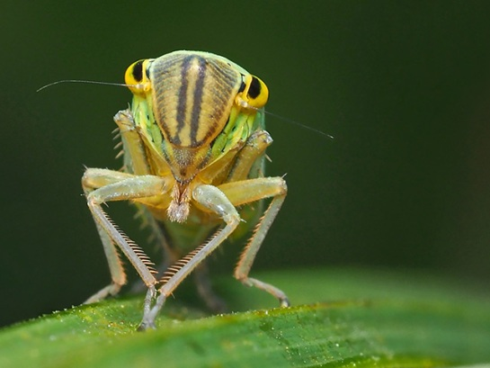 C.viridis nymph en face