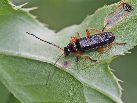 C.flavilabris
